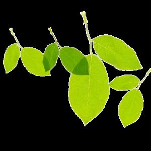 green organic hemp leaf